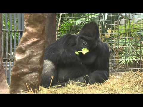 Gorillas with Heart Disease